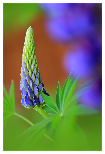 Lupine 2021 Close-Up Photography