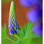 Lupine 2021 - Close-Up Photography
