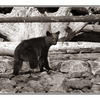little bear B&W - Wildlife