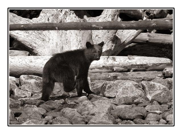 little bear B&W Wildlife