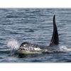 whale02 - Wildlife