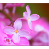 Lilac flowers - Close-Up Photography