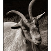 Coombs Goat - Black & White and Sepia