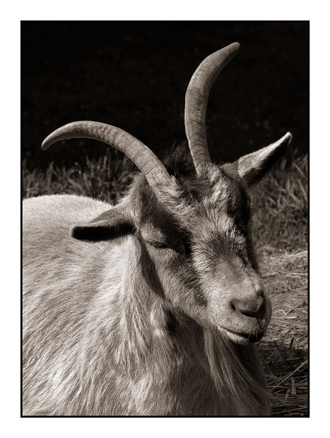Coombs Goat Black & White and Sepia