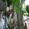 P1090533 - orchideëen