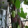 P1090534 - orchideëen