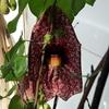 P1090557 - orchideëen