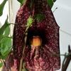 P1090557b - orchideëen