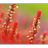 Red heather - Close-Up Photography