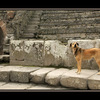 -Pompeii Dog - Italy photos