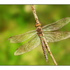 Dragonfly - Close-Up Photography