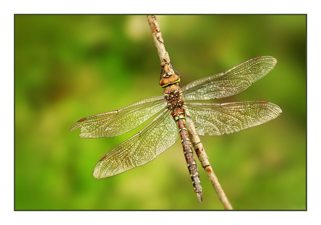 Dragonfly Close-Up Photography