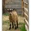 Yukon goat - Alaska and the Yukon