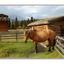 Yukon horse - Alaska and the Yukon