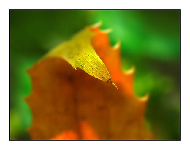 Lerwick Leaf colors Close-Up Photography