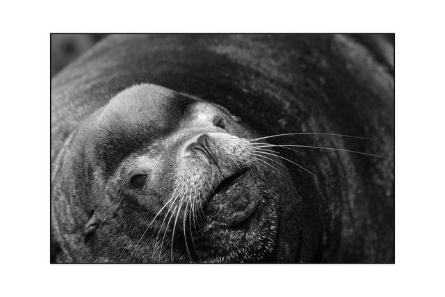 sealion 13 Black & White and Sepia