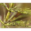 grass pod - Close-Up Photography