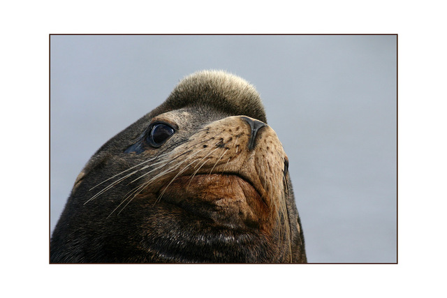 sealion 03 - Wildlife