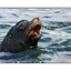 sealion 04 - Wildlife