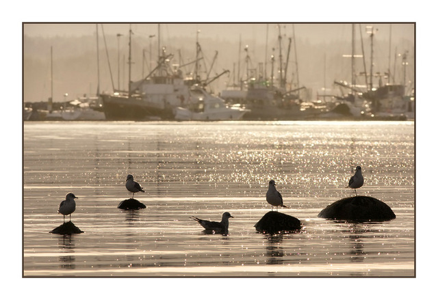 Gulls and Boats Comox Valley