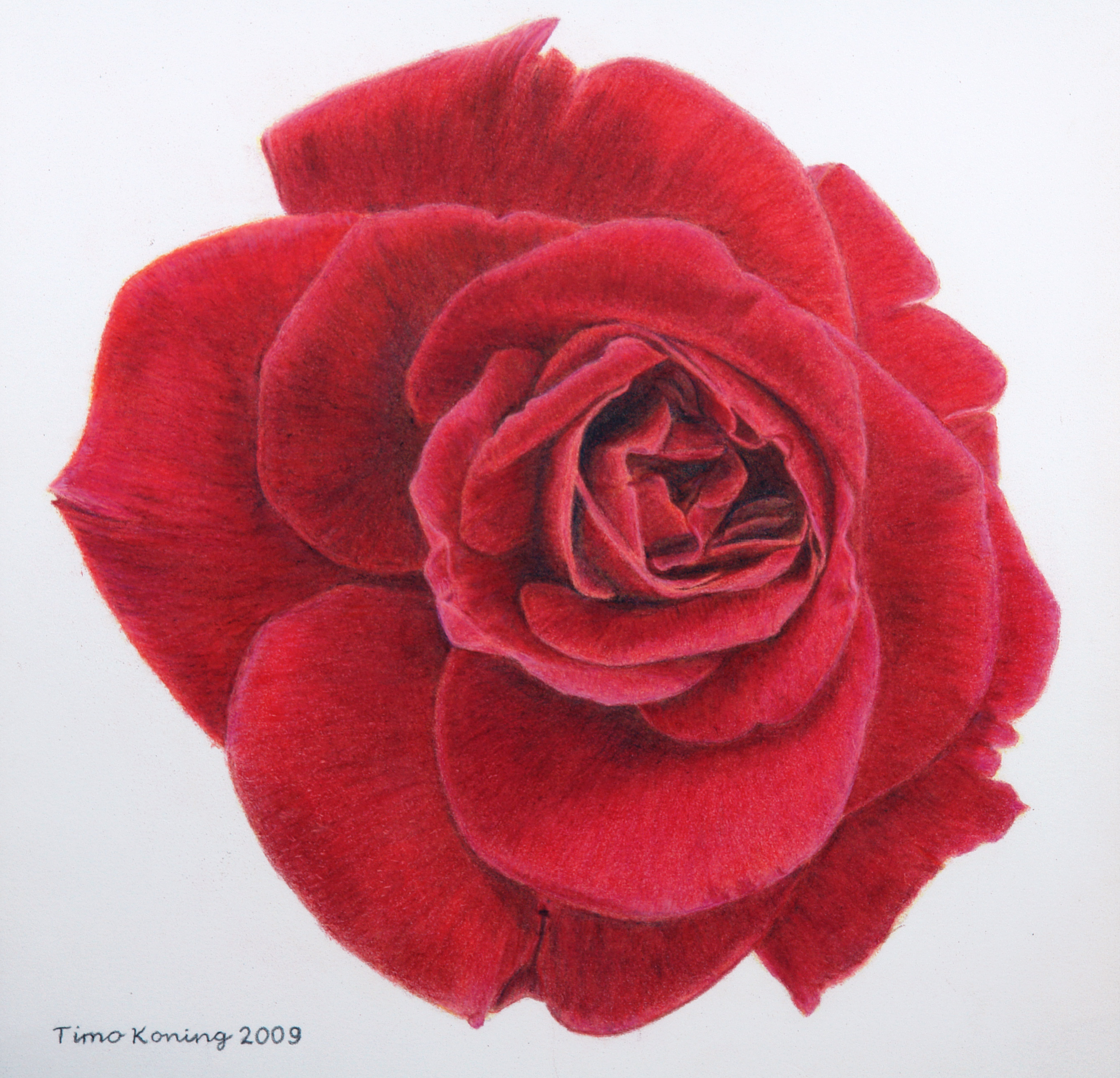 Displaying 20> Images For - One Red Rose Drawing... Pencil Drawing Pictures Of Flowers