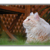 outside cat - Comox Valley
