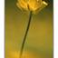 buttercup - 35mm photos