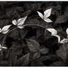 greenleaf - Black & White and Sepia