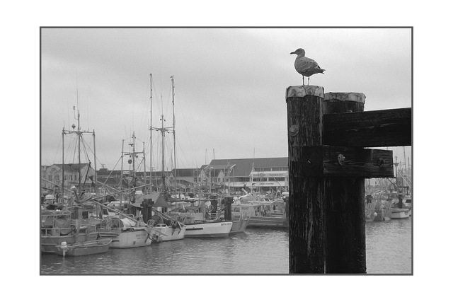 gull Black & White and Sepia