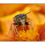 bee front - Close-Up Photography