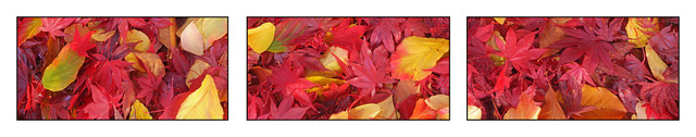 Fall Leaves Pano Panorama Images