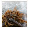 kelp - Nature Images