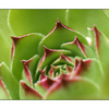 Hens and Chicks (Sempervivum) - Close-Up Photography