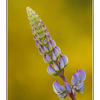 lupin - Close-Up Photography