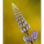 lupin - Close-Up Photography