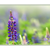 lupin field - Close-Up Photography