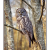 great owl - Wildlife