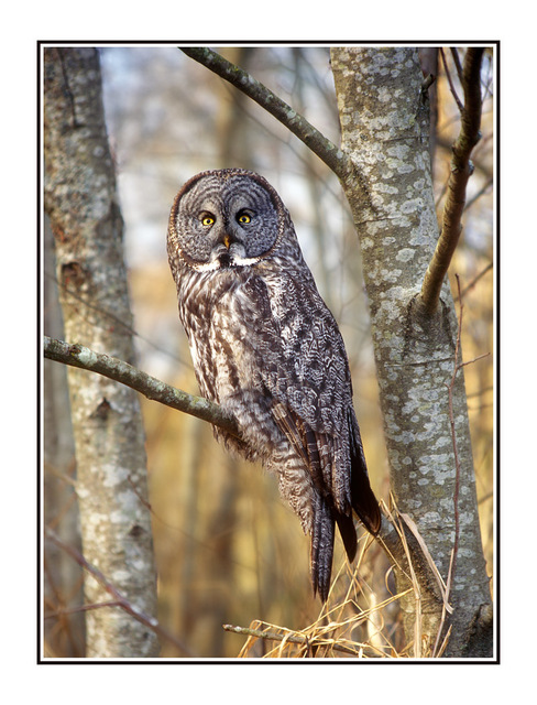 great owl Wildlife