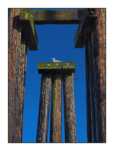 DeepBay Seagull Vancouver Island