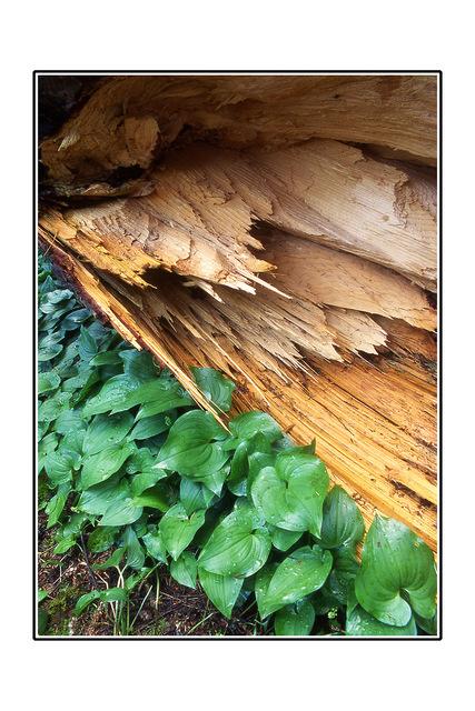 Fallen Cedar with CANADIAN WILD GINGER 35mm photos