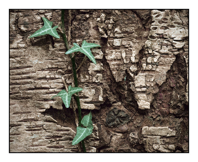 Vine on Bark Close-Up Photography