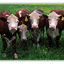 cows - 35mm photos