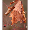 Hanging Leaf - Close-Up Photography
