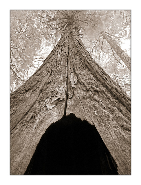 Cathedral Grove tree - Infrared photography