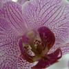 P1030542 - orchideëen