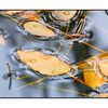 Floating Leaves Marsh -crop - Close-Up Photography