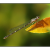 Damselfly Backyard01b - Close-Up Photography