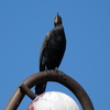 P1170591 - de vogels van amsterdam