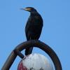 P1170597 - de vogels van amsterdam