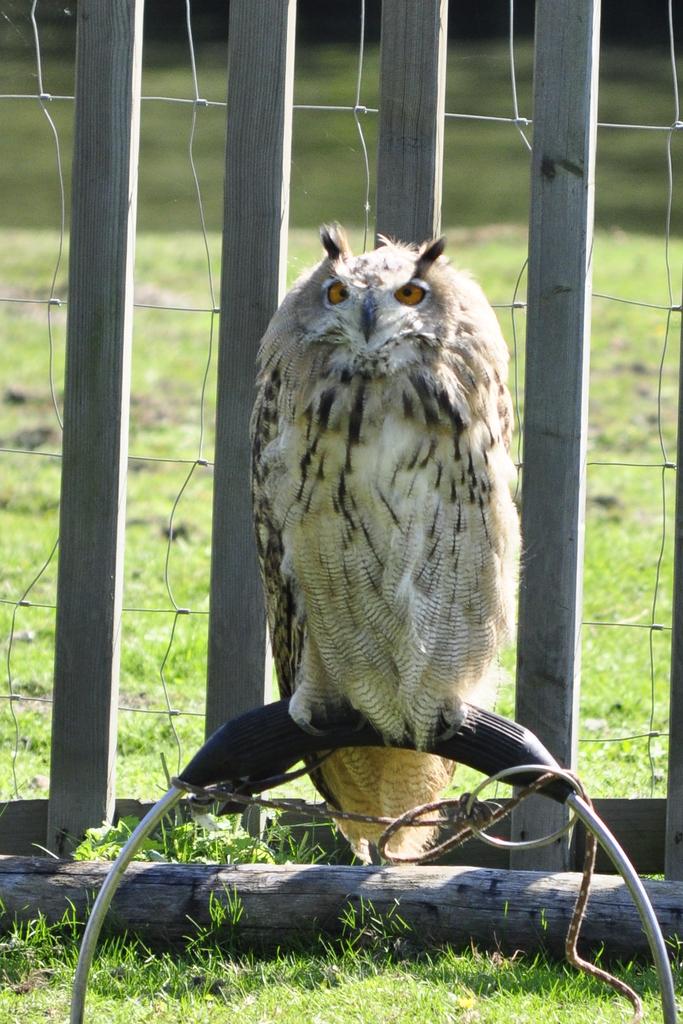 roofvogelsshow den hout 2010 (6) -
